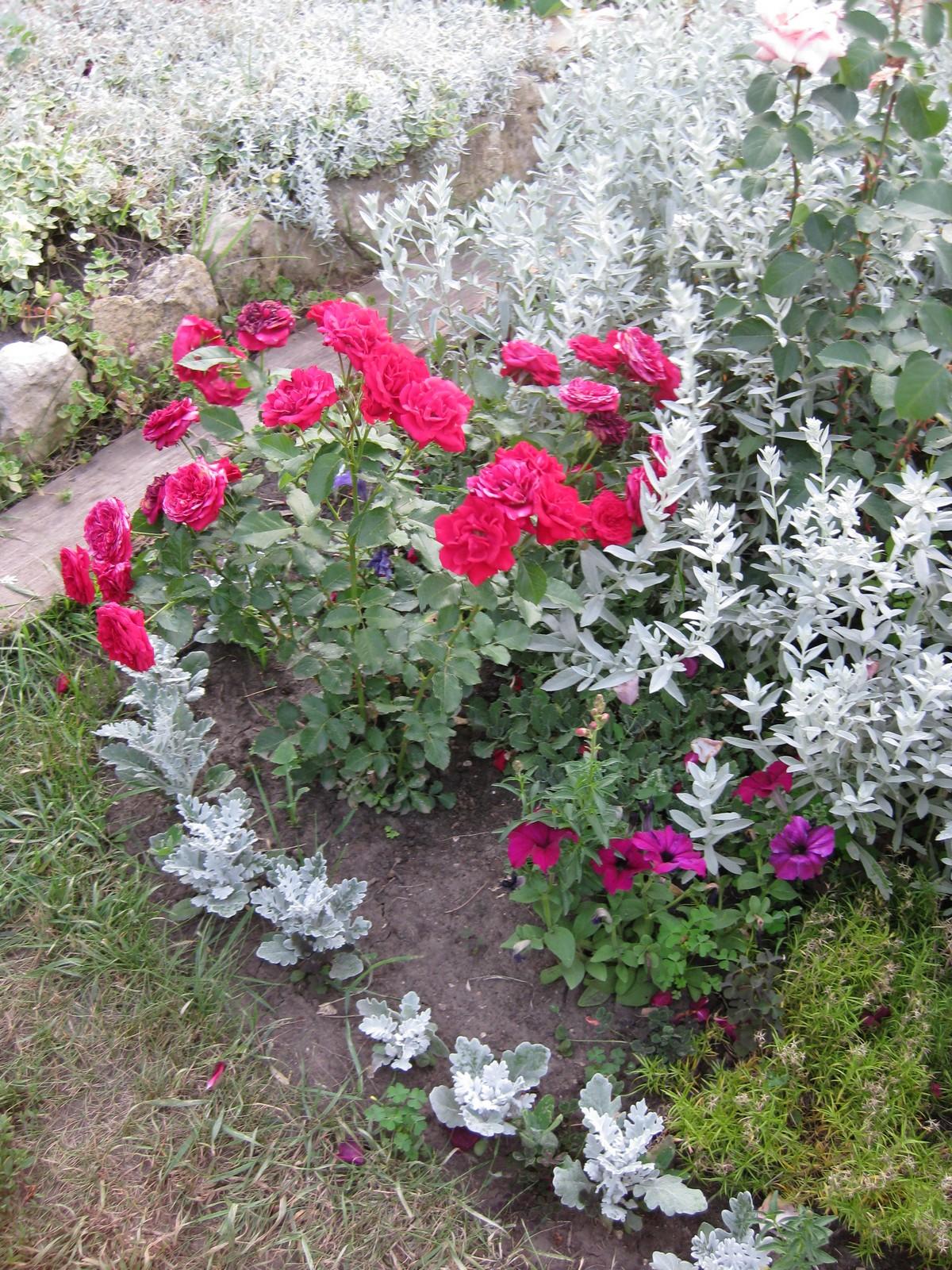 Клумба из роз своими руками - фото оформления розария на даче