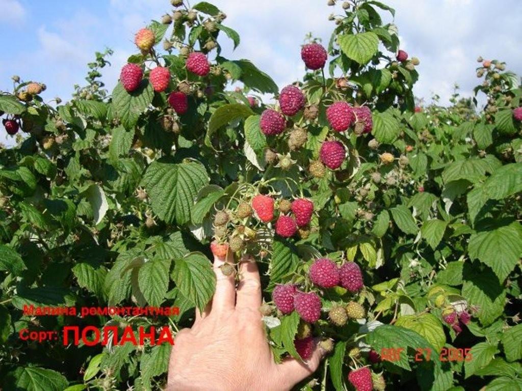 Малиновое дерево особенности выращивания 81